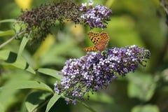 The Malachite Butterfly Siproeta stelenessucking the nectar of the. Malachite Butterfly Siproeta stelenessucking the nectar of the flowers of a Buddleia Buddleja stock image