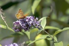 The Malachite Butterfly Siproeta stelenessucking the nectar of the. Malachite Butterfly Siproeta stelenessucking the nectar of the flowers of a Buddleia Buddleja stock photo