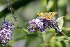 The Malachite Butterfly Siproeta stelenessucking the nectar of the. Malachite Butterfly Siproeta stelenessucking the nectar of the flowers of a Buddleia Buddleja royalty free stock photography