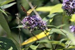 The Malachite Butterfly Siproeta stelenessucking the nectar of the. Malachite Butterfly Siproeta stelenessucking the nectar of the flowers of a Buddleia Buddleja stock images