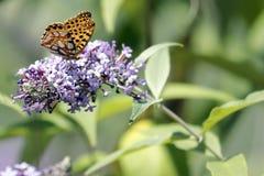 The Malachite Butterfly Siproeta stelenessucking the nectar of the. Malachite Butterfly Siproeta stelenessucking the nectar of the flowers of a Buddleia Buddleja stock photos