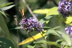 The Malachite Butterfly Siproeta stelenessucking the nectar of the. Malachite Butterfly Siproeta stelenessucking the nectar of the flowers of a Buddleia Buddleja royalty free stock image