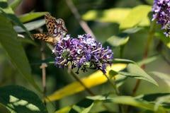 The Malachite Butterfly Siproeta stelenessucking the nectar of the. Malachite Butterfly Siproeta stelenessucking the nectar of the flowers of a Buddleia Buddleja royalty free stock images