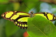 Malachite butterfly (underside) Royalty Free Stock Photo