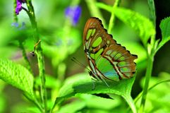 Malachite butterfly (underside) Royalty Free Stock Image