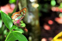 Malachite butterfly Royalty Free Stock Image