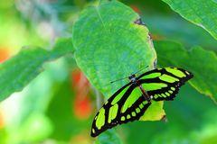 Malachite butterfly (upper side) Royalty Free Stock Image
