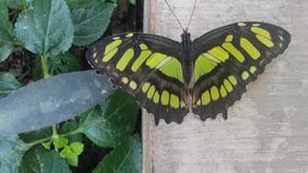 Malachite Butterfly. On the wall near foliage Royalty Free Stock Photography