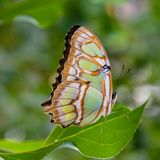 Malachite butterfly with wings closed royalty free stock photo
