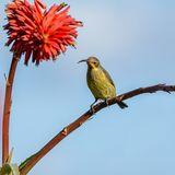 Malachite femminile Sunbird Fotografie Stock Libere da Diritti