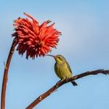 Malachite femminile Sunbird Fotografia Stock