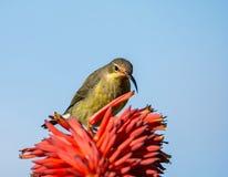 Malachite femminile Sunbird Fotografie Stock