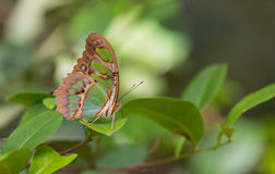 Malachite on a green bush. The Malachite Butterfly (Siproeta stelenes) is found throughout central and northern South America, this specimen was photographed on royalty free stock photos