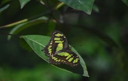 Malachite with his Wings Spread on a Green Leaf. Pretty green and black malachite with his wings spread open royalty free stock images