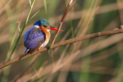 Malachite King fisher South Africa. On a branch Stock Image