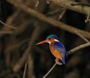 Malachite Kingfisher. In mangrove forest in The Gambia Stock Photography