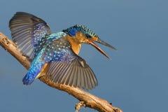 MAlachite Kingfisher Stock Photo