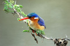 Malachite Kingfisher Royalty Free Stock Photo