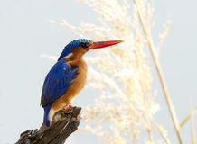 Malachite Kingfisher Stock Image