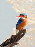 Malachite Kingfisher Royalty Free Stock Image
