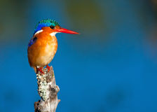 Malachite Kingfisher Royalty Free Stock Images