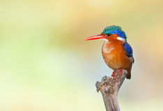 Malachite Kingfisher. On perch against smooth yellow background that complements bird well royalty free stock photography