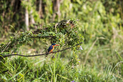 Malachite Kingfisher. Sitting on a branch in the Queen Elizabeth Park in Uganda. If you look very close you can see a lizard on an upper branch stock photos