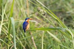 Malachite Kingfisher. Sitting on grass stalk in Queen Elizabeth Park, Uganda stock images