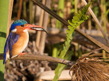 Malachite Kingfisher  Stock Image