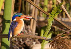 Malachite Kingfisher royalty free stock photography