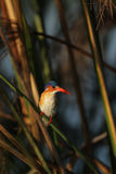 Malachite Kingfisher. (Alcedo cristata) in the reeds of the Okavango Delta, Botswana stock photos