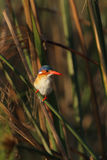 Malachite Kingfisher. (Alcedo cristata) in the reeds of the Okavango Delta, Botswana royalty free stock images