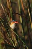 Malachite Kingfisher Royalty Free Stock Images