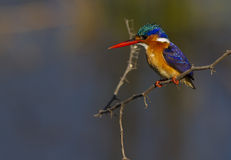 Malachite Kingfisher against a super background Stock Image
