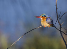 Malachite Kingfisher against a super background Royalty Free Stock Images