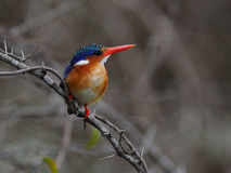 Malachite Kingfisher (Alcedo Cristata). This bird you can find on rivers in south africa Stock Image