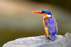 Malachite Kingfisher (Alcedo cristata) Royalty Free Stock Photography