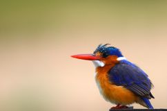 Malachite Kingfisher (Alcedo cristata) Stock Photo
