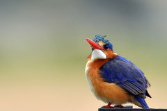 Malachite Kingfisher (Alcedo cristata) Stock Photography