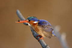 Malachite kingfisher, Alcedo cristata Stock Photography