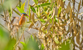 A Malachite Kingfisher on ambush stock photography