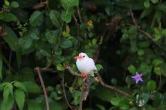 Malachite Kingfisher. Corythornis cristatus albino in Uganda stock image