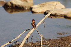 Malachite Kingfisher Corythornis cristatus on a branch. A Malachite Kingfisher Corythornis cristatus on a branch in East Africa royalty free stock photo