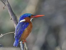 Malachite kingfisher Corythornis cristatus. Malachite kingfisher in its natural habitat in Senegal stock photos