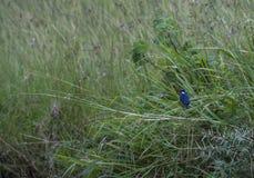 Malachite kingfisher or Corythornis cristatus, stock photos