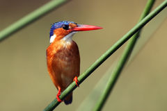Malachite kingfisher. Corythornis cristatus sitting on a reed with green backround by the river Nile royalty free stock image