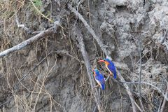 Malachite Kingfisher Royalty Free Stock Photography