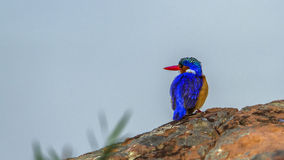 Malachite kingfisher in Kruger National park, South Africa stock image