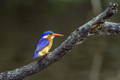 Malachite kingfisher in Kruger National park, South Africa royalty free stock photography
