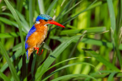 Malachite Kingfisher Perched Amongst Reeds stock image